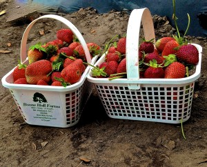 Real Life Math - Strawberry Picking Edition